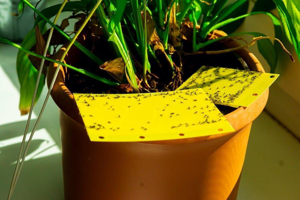 fungus-gnats-on-plants