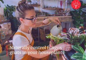 Controlling Fungus Gnats with BTI